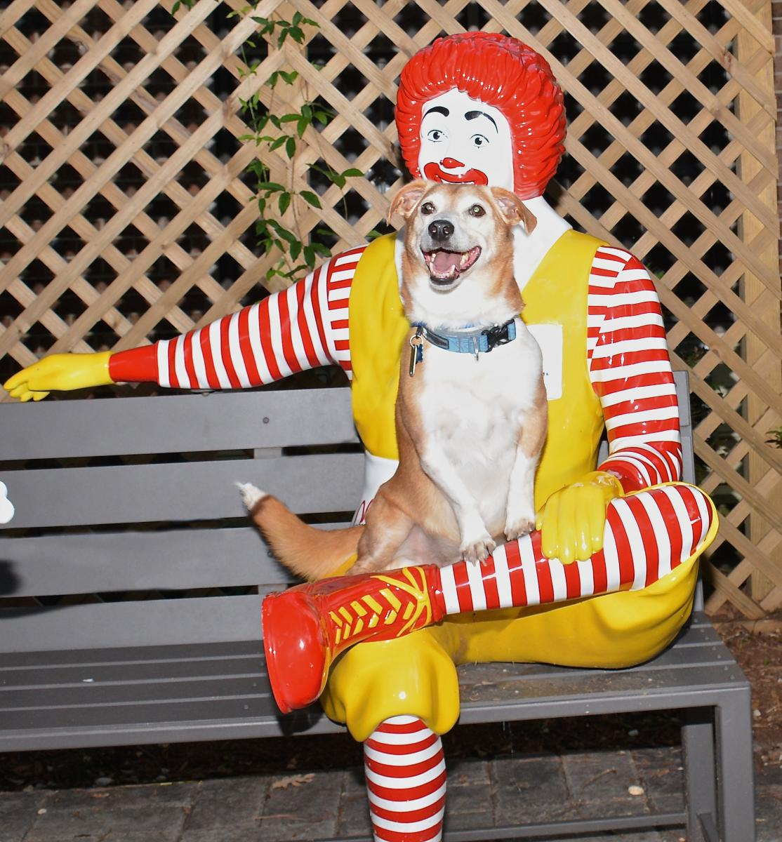 While visiting patients at the Ronald McDonald House in Durham, Tipton, a Jack Russel terrier mix, poses on the lap of a Ronald McDonald statue located in the garden. Tipton, who visited children being treated at Duke, is in the process of training to become a Pets At Duke therapy dog.